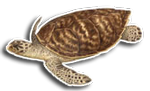 Hawsbill Sea Turtle
